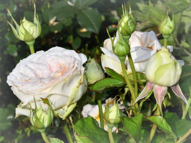 Róża Madame Anisette