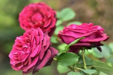Róża Gräfin Diana