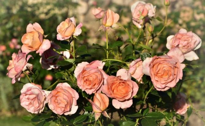 Róża Bengali