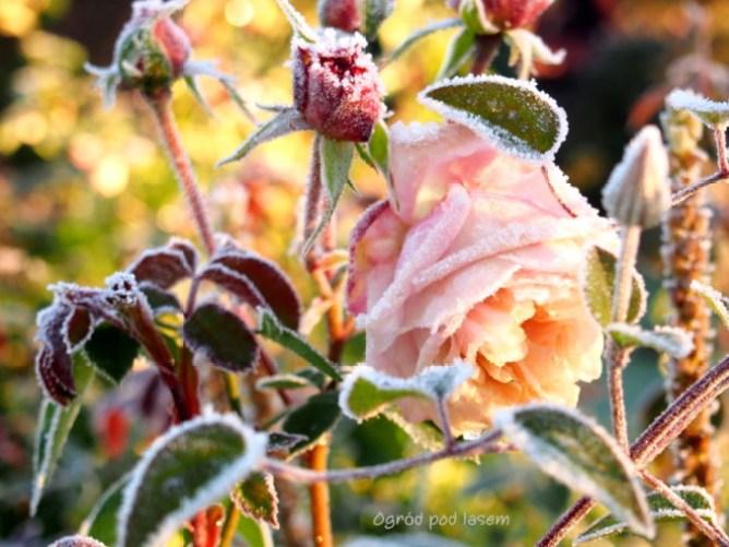 Zmrożona róża Herkules