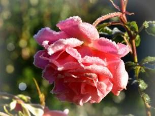 Zmrożone róże - Lambada