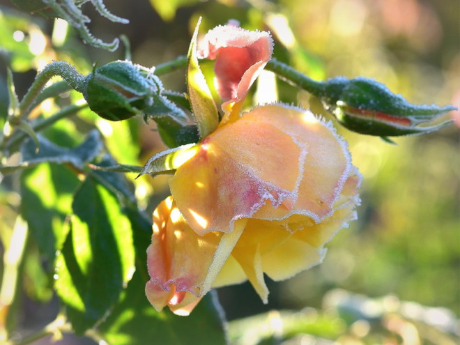 Zmrożona róża Moonlight