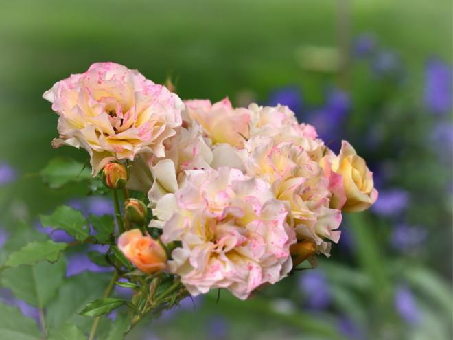Róża Landlust