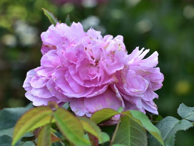 Róża portlandzka Jagues Cartier