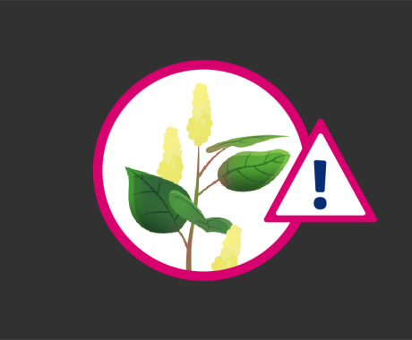 Japanese Knotweed: Top Weed for Home Damage in Northern Ohio