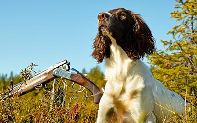 Breeding Hunting Dogs - Springer Spaniels