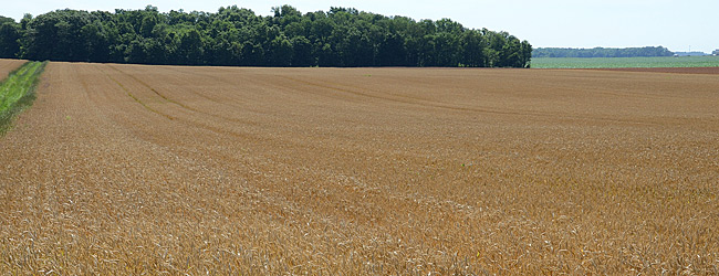 Noxious Weed Free Wheat Field