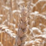 Wheat Head Closeup