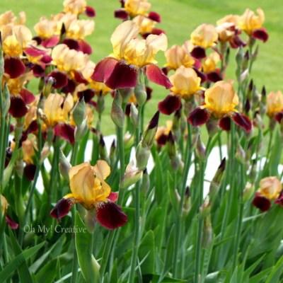 Photo Friday #4 – Blooming Iris