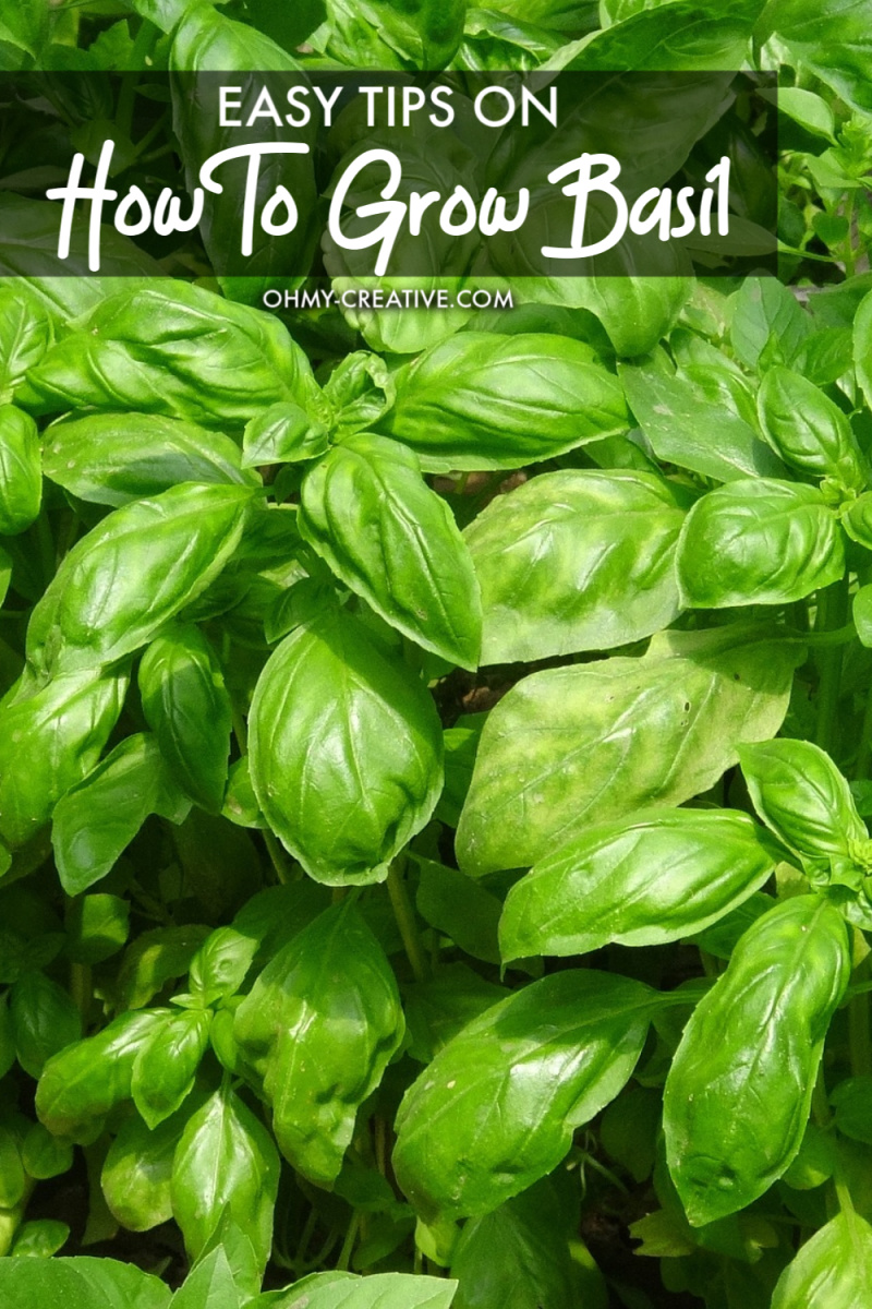 basil growing in a garden
