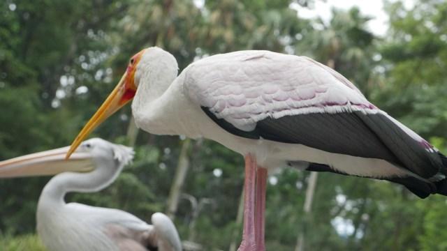 Pelikan und Storch