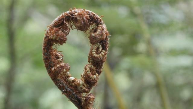 Farnknospe, eines der Symbole Neuseelands