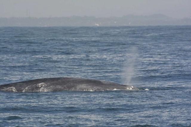 Whale-Watching in Mirissa: Blauwal beim Auftauchen
