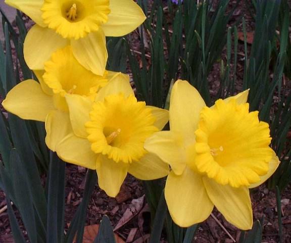 daffodils photo