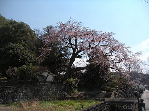 大原大しだれ桜12014.3.22
