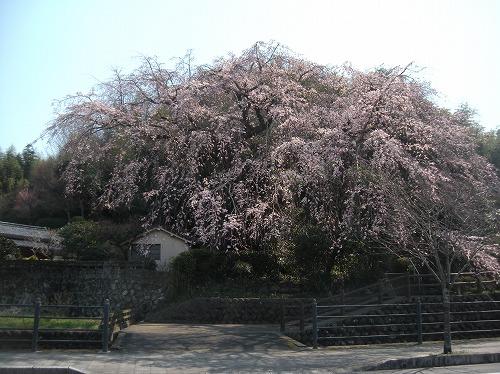 大原大しだれ桜22014.3.23