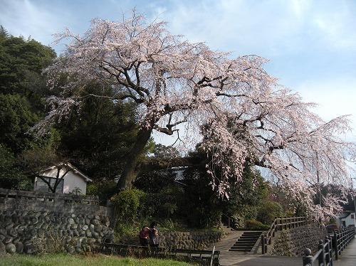 大原大しだれ桜12014.3.24