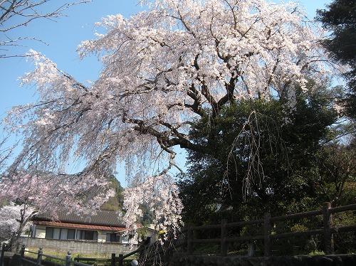 大原大しだれ桜12014.3.28