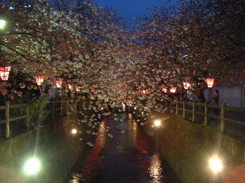 中野川八重桜2014.4.7