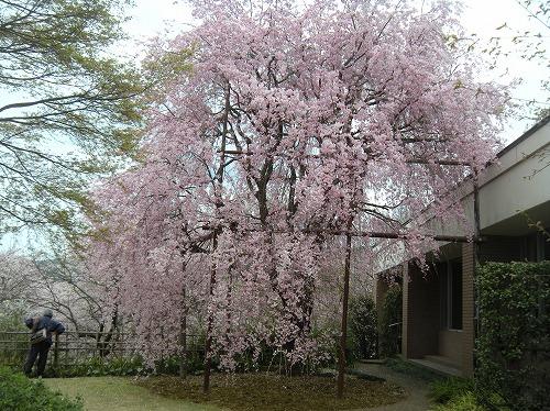 いいちこ紅しだれ桜2014.4.3