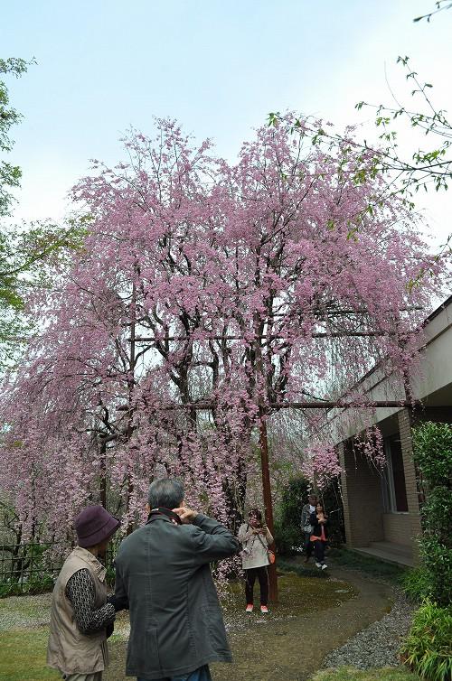 いいちこ紅しだれ桜