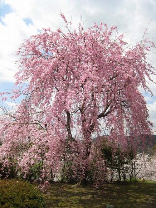 日田蒸留所しだれ桜