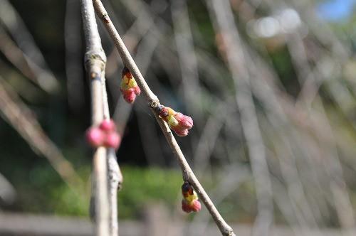 大原大しだれ桜22016.3.15