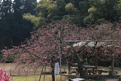 本日の河津桜の様子