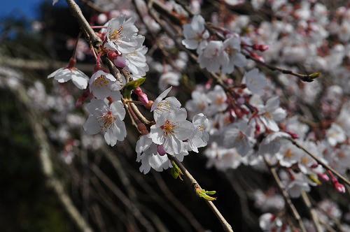 大原大しだれ桜22016.3.25