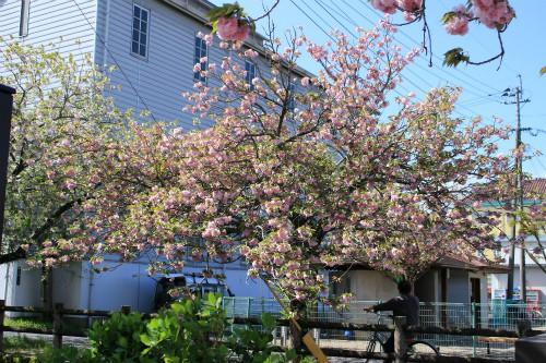 桜、散り方も見事。