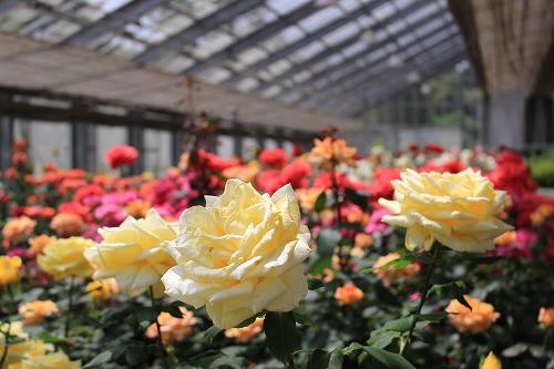 園内に広がる春バラ