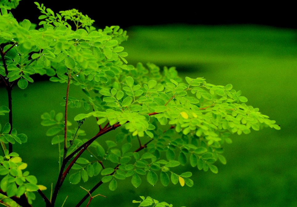 Image result for moringa tree