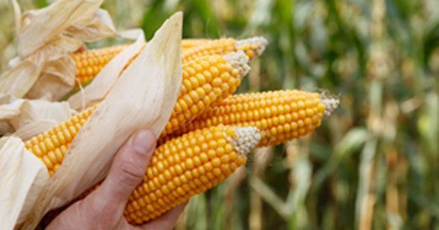 maíz Atfarm