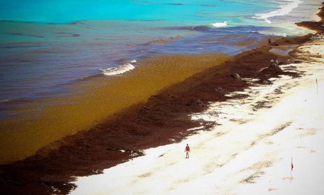 consecuencias del sargazo en Quintana Roo