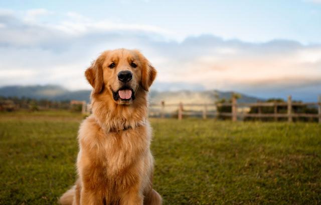 Golden retrievers, perros, mascotas, animales, peluditos, jardín, casa, pasto