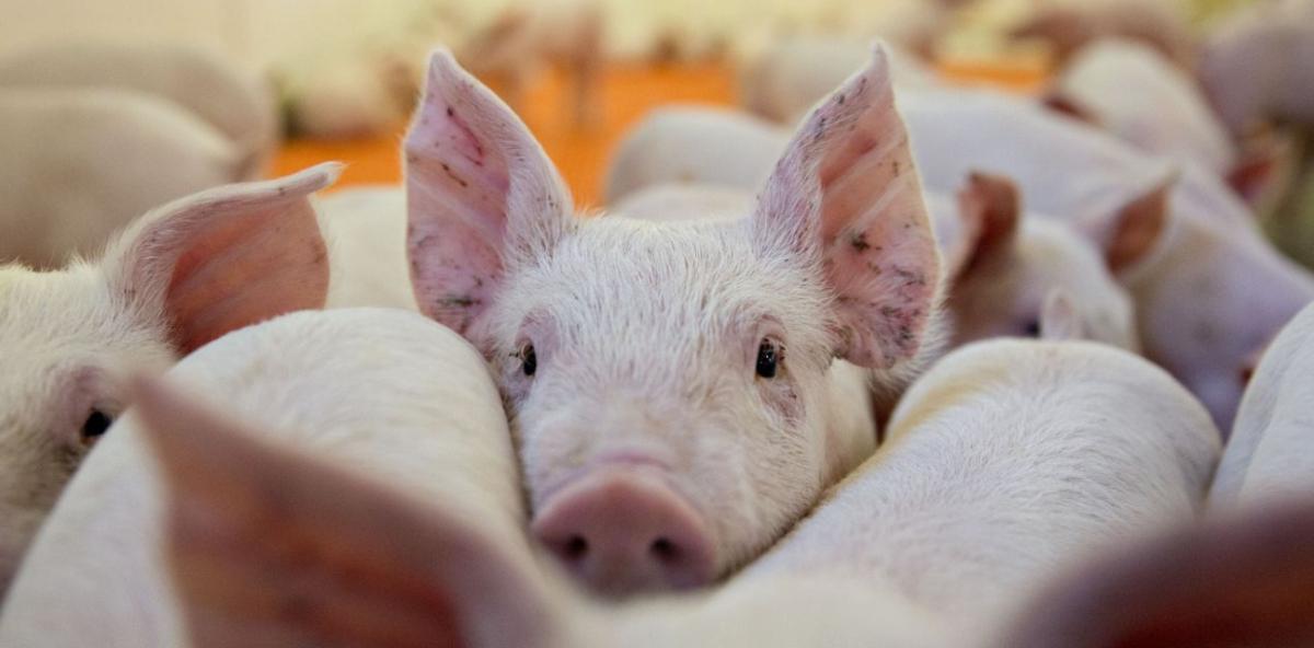 Trasplantes de organos de cerdo a humanos
