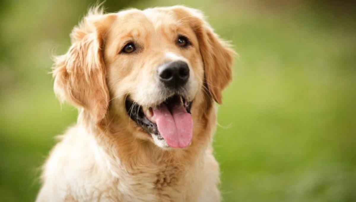 """18 de diciembre de 2019, empleo, perros, Golden dinero, Londres, ofrecen empleo por cuidar a """"Milo"""" y """"Oscar"""" (Imagen: Especial)"""