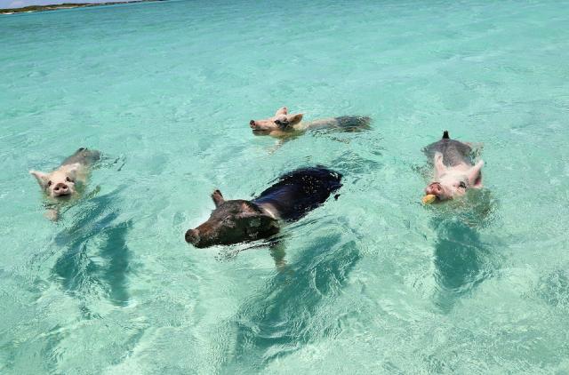 15 de enero 2020, Las Bahamas, Playa, Mar, Cerdos, Animales, Naturaleza