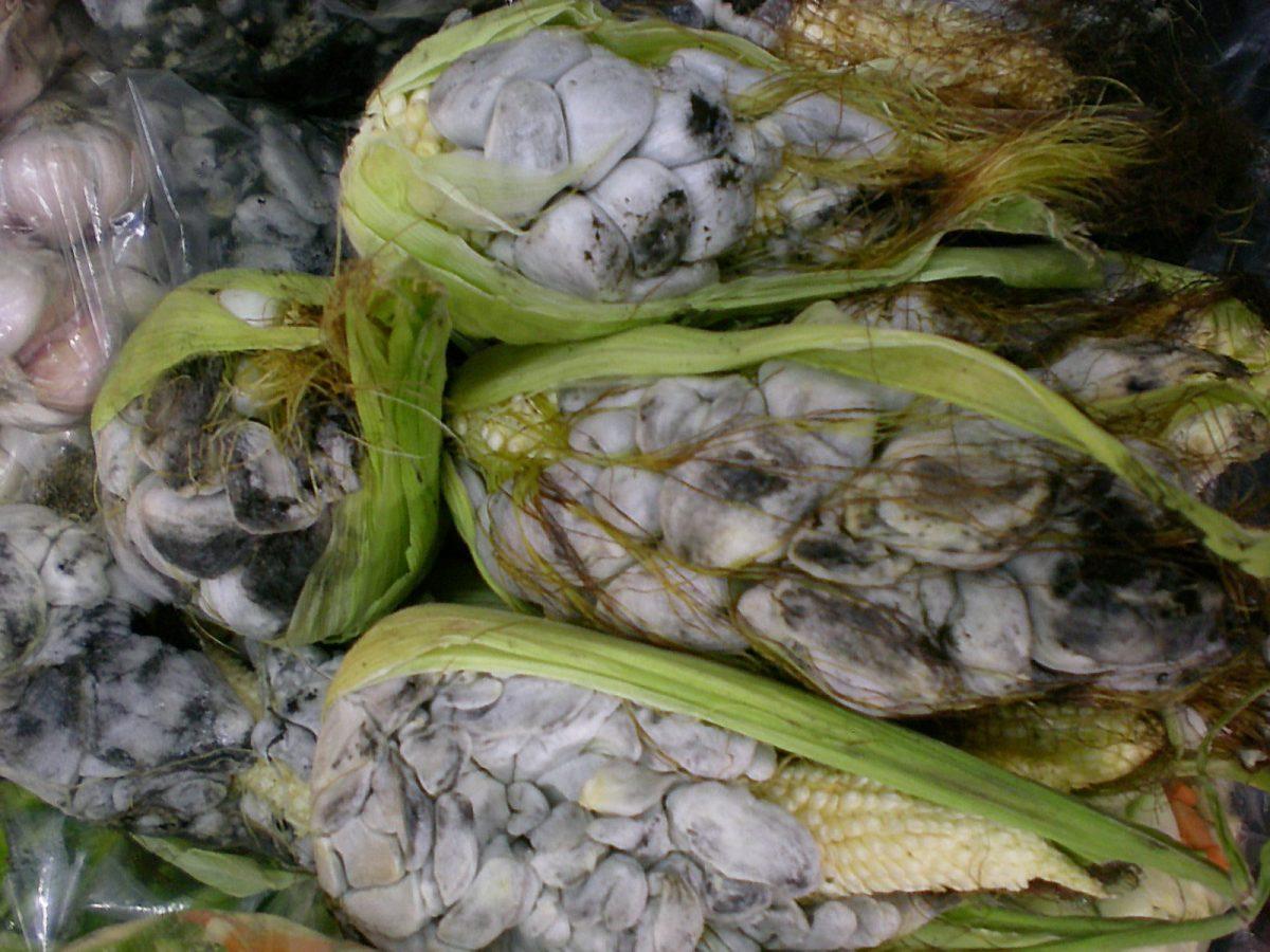 Huitlacoche: manjar en México, plaga para el mundo