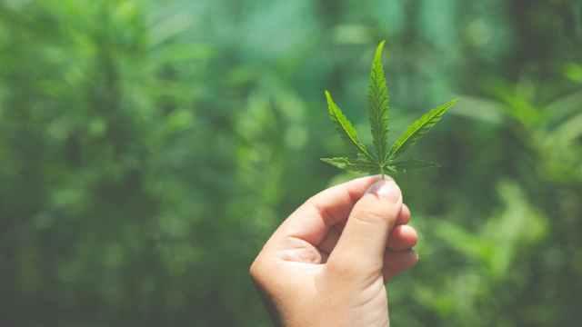 Pasos para invertir en marihuana desde México