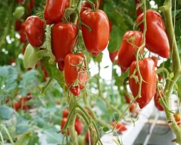 Les Sourciers Hydroponie tomates