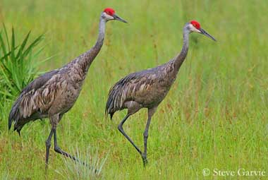 Image result for sandhill crane