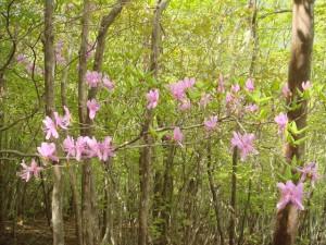 尾根に咲く三つ葉ツツジ