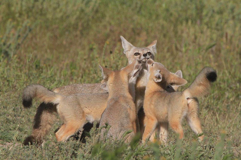 Kit fox family