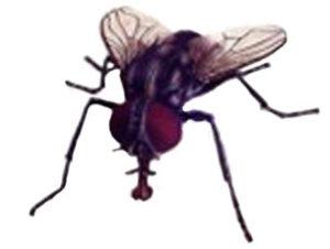 Surrende flue