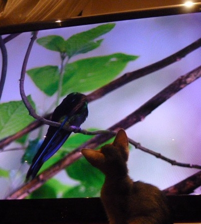 Kolibriejakt