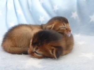 Sovende kattunger