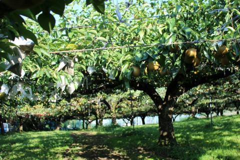 梨が沢山なっています