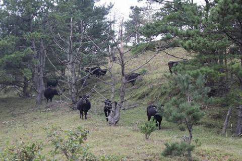 放牧中の牛に遭遇