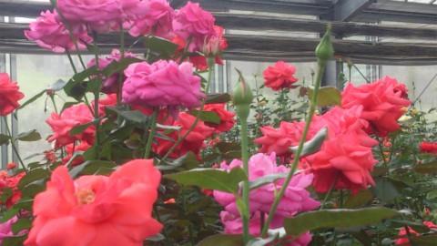 見事に鮮やかなバラですね。